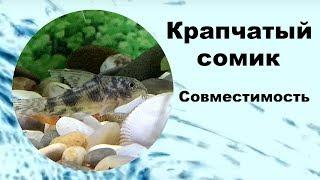 Крапчатый сомик. Совместимость аквариумных рыбок.