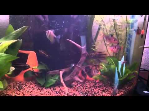 Pelvicachromis pulcher fight