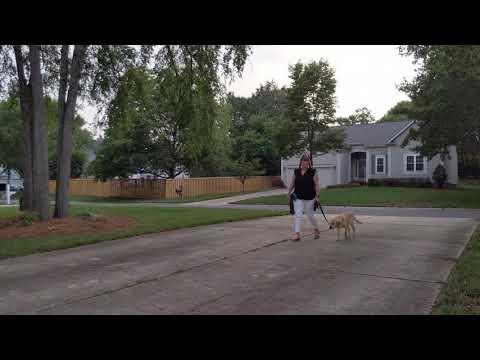 Puppy walk 4k