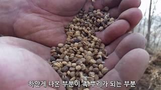 #4 종자뿌리기 모종만들기 산양산삼키우기 산양산삼재배방…