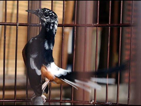 Suara Burung Aksi Murai Batu Blorok Youtube