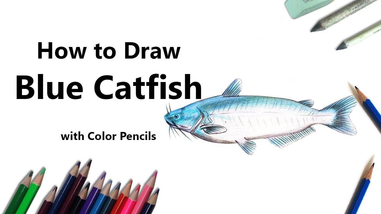 How To Draw A Blue Catfish With Color Pencils Time Lapse Youtube