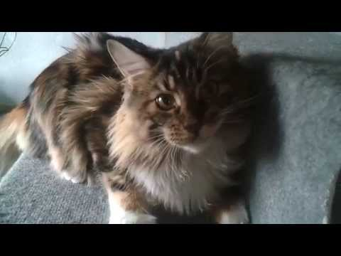 Cat - Maine Coon - 6 month old girl