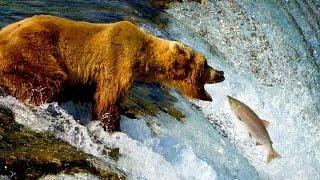 Дикая природа Аляски Одинокий бурый медведь желает лакомиться лососем в водопадах реки Брукс Ч 2(СМОТРЕТЬ В ПРЯМОМ ЭФИРЕ ЗВЕРИ ЖИВОТНЫЕ ПОТОКОВОЕ ВИДЕО из КАТМАЙ АЛЯСКА США ВЕБКАМЕРА, расположенная у..., 2015-03-21T15:12:11.000Z)