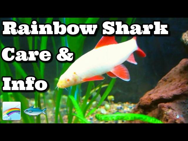 Albino Rainbow Shark Care Information Youtube