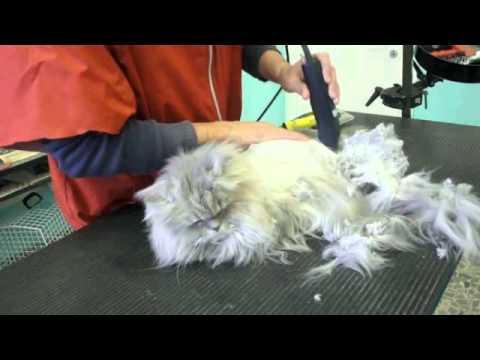 Tosatura Gatto Senza Anestesia Youtube