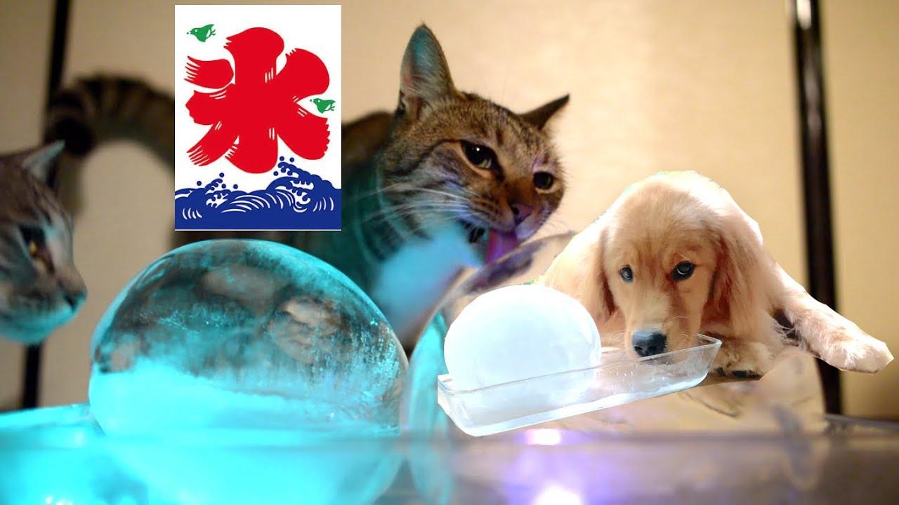 暑いから氷で涼むくうたと猫たち