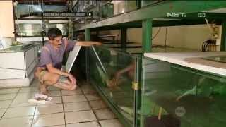 vuclip Bisnis ikan hias dengan omzet ratusan juta - IMS