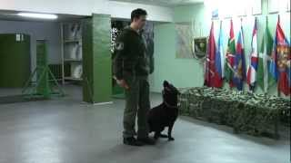 Labrador Obedience Dog Training Course