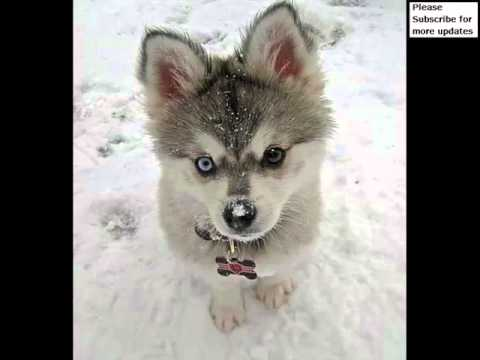 Miniature Siberian Huskies Collection Of Pictures Miniature