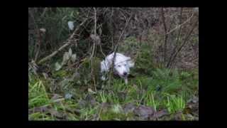 イングリッシュセター15歳の猟犬姿を残すシリーズ5 前日沢沿いでヤマ...