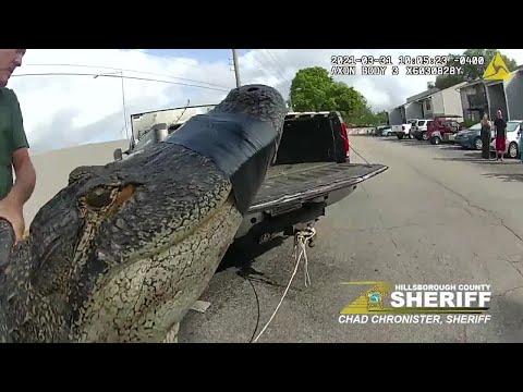 10-foot-alligator-found-under-parked-car-in-Florida