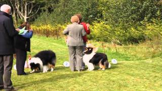 Irish Collie Ch. Show 2010 Best in Show and Best Puppy in Show)