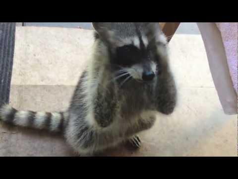 Cute Raccoon Begging