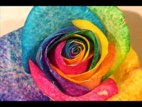 Rainbow rose coloring process by for How to color roses rainbow