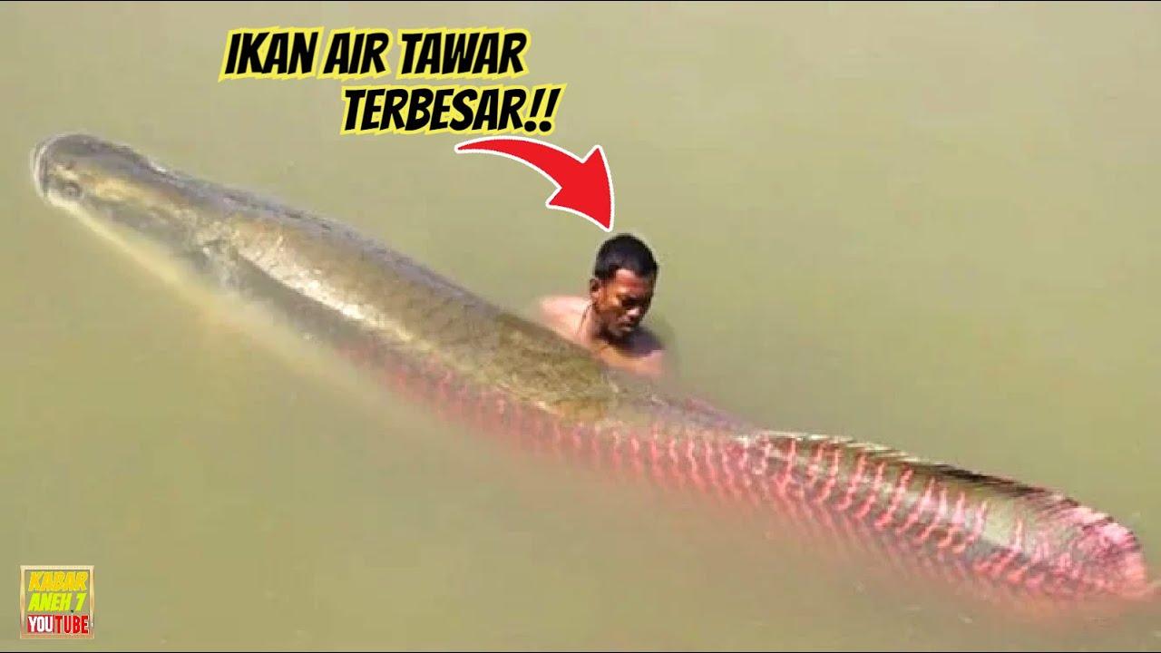 NELAYAN TANGKAP IKAN AIR TAWAR TERBESAR DI DUNIA! 5 Ikan Air Tawar Paling Besar Di Dunia