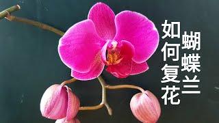 兰花水培-蝴蝶兰如何复花