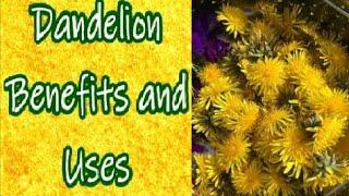 Dandelion Uses and Benefits