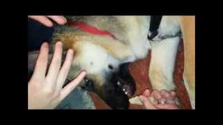 How To Tape German Shepherd Ears By Not Using Tape!!!