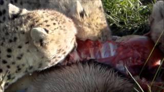 Warning - Do Not Watch Before Eating! Cheetah Family Chowing Down on Gazelle in Maasai Mara