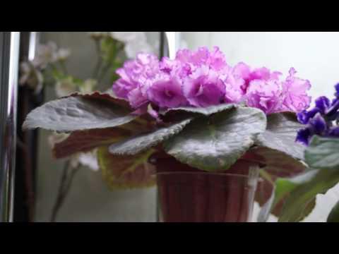 Новые сорта фиалок:обзор июньского цветения!