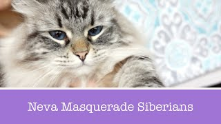 What is a Neva Masquerade Siberian?
