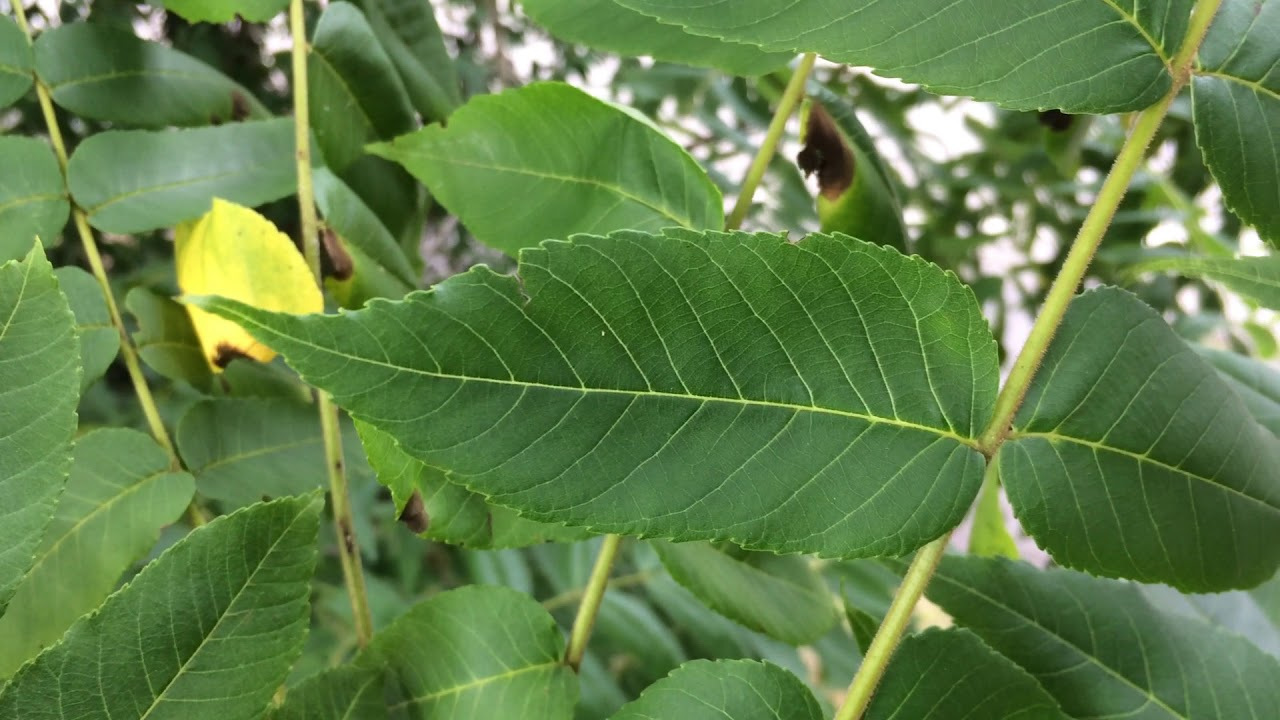 Educational videos on nature (Black walnut - leaves close up) - August 2017