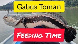 Gabus Barbar Feeding #Gabus #Toman #Ikan #Predator