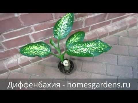 Как выглядит растение по имени диффенбахия?