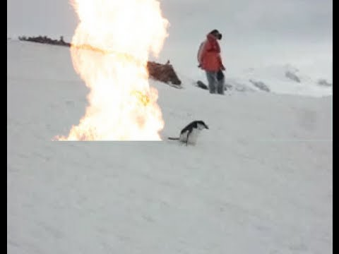 Pinguin Effekt