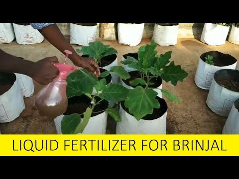 Organic Fertilizer for Brinjal plants / How to grow Brinjal plant / Home gardening in Tamil Nadu