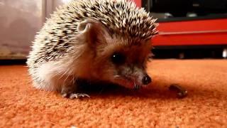 Ежик обедает/Hedgehog beats worms