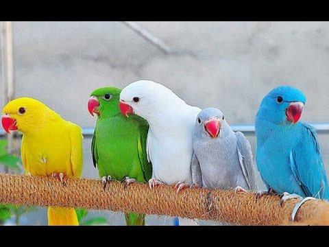 اساسيات تربية طائر الدرة مع محمود وادي Youtube