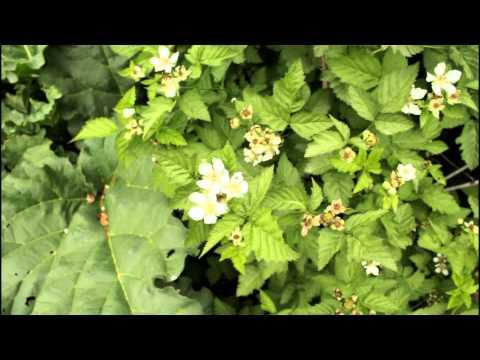 How To Grow Garden Blackberries And Boysenberries With The California Gardener