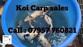 KOI carp 2016 breeding video