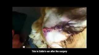 Dog Bite / Ear Cut