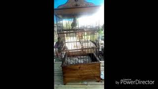 Download Burung Brinjak kelawu gacor dorr, Brinjak Kelawu, pencinta Burung Brinjak, masteran Burung Bribjak, Mp3