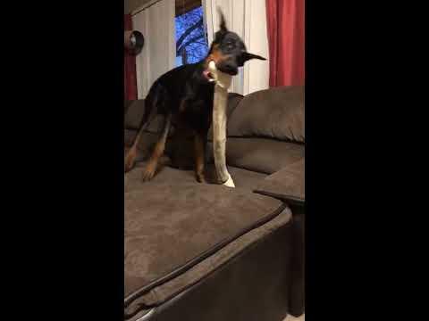 Doberman Pinscher With The Biggest Dog Bone - Fun Time