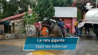 La rata fue extraída de la basura por los equipos de Protección Civil; tendría una altura superior al metro y medio