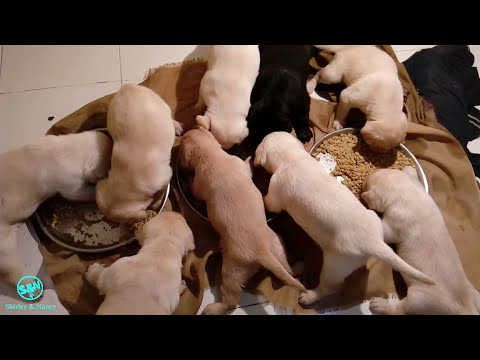 feeding dog food to puppies Day 21