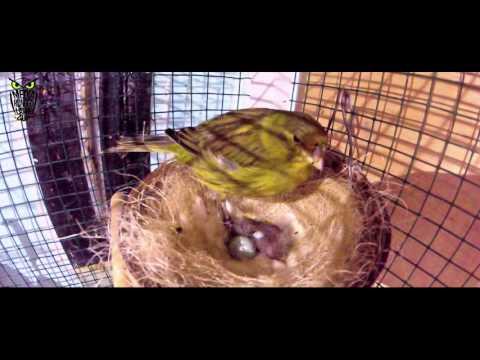 Download Lagu BIRD MARKET : Ternak Kenari Gacor Mudag Menyenangkan di Ginanti Bird Farm