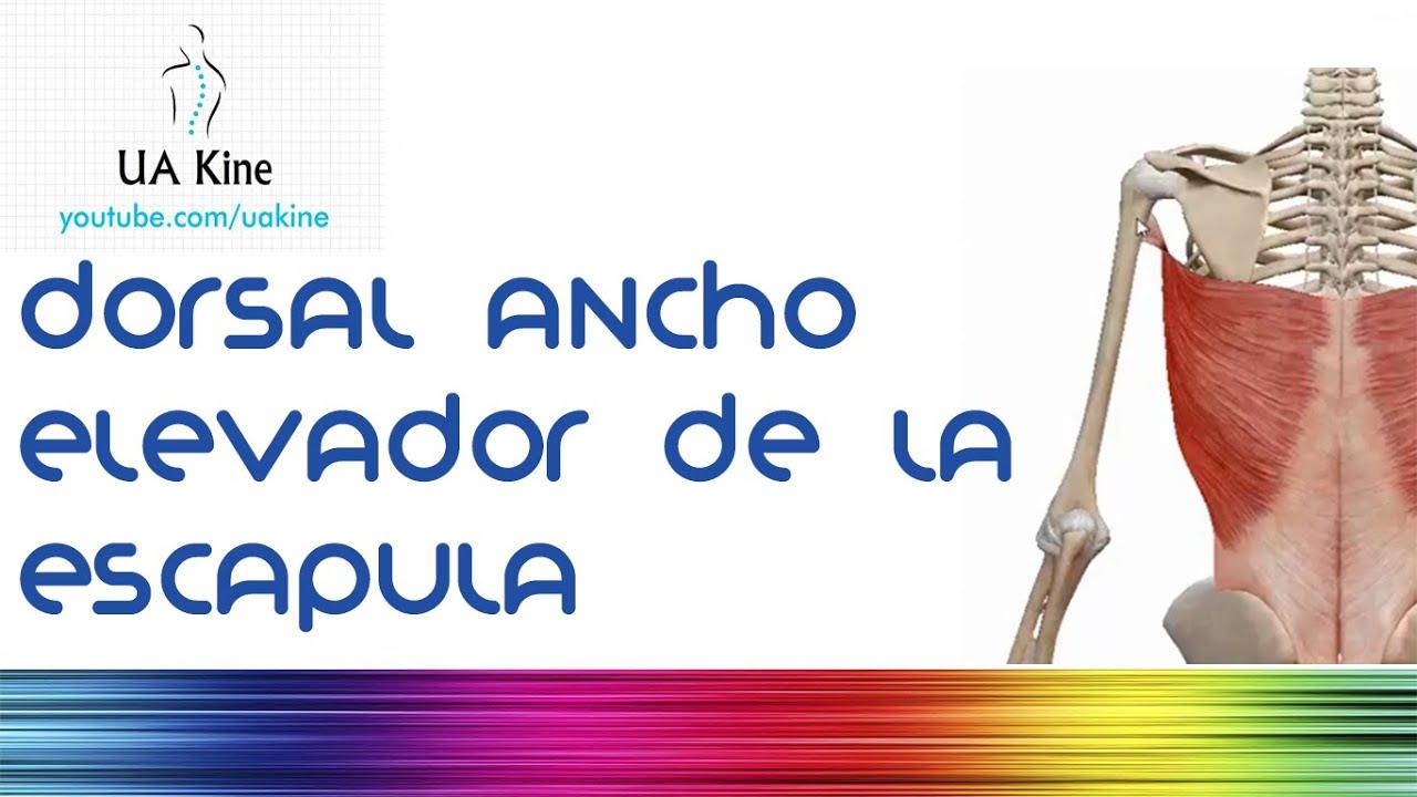 Anatomia Dorsal Ancho y Elevador de la escapula - YouTube