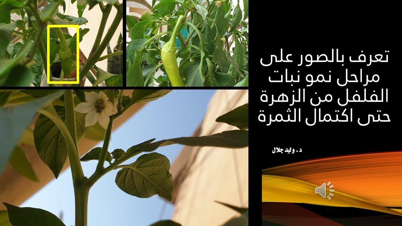 تعرف بالصور على مراحل نمو نبات الفلفل من الزهرة حتى اكتمال الثمرة Youtube