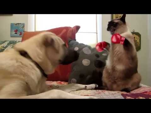Cat vs dog epic boxing smackdown (after effects)