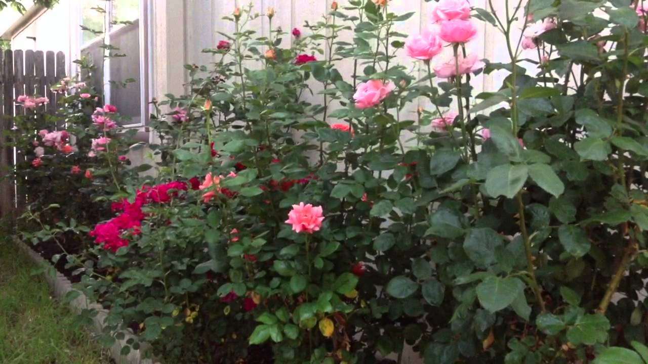 How To Naturally Kill Rid Insects Aphids From Roses Garden Diy Youtube
