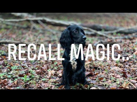 Magic Recall for Working spaniels, cocker spaniel, English Springer Spaniel Gundog Training