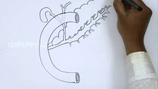 How to Draw a Pancreas