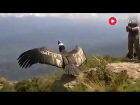 Burung Rajawali mengucapkan Terima kasih ke Manusia yang sudah merawat dan menyembuhkan luka nya