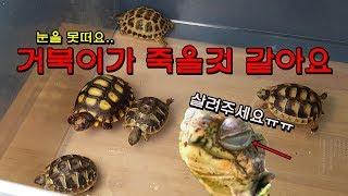 육지거북이가 눈을 안뜨고 죽을것 같아요.. 어떡하죠? 살려주세요...[정브르] / land turtle care method!