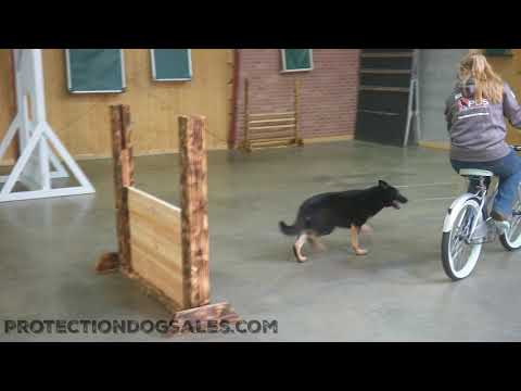 """BEAUTIFUL! German Shepherd """"Ivory"""" 22 Mos Old  Bike Proofing Protection Dog For Sale"""